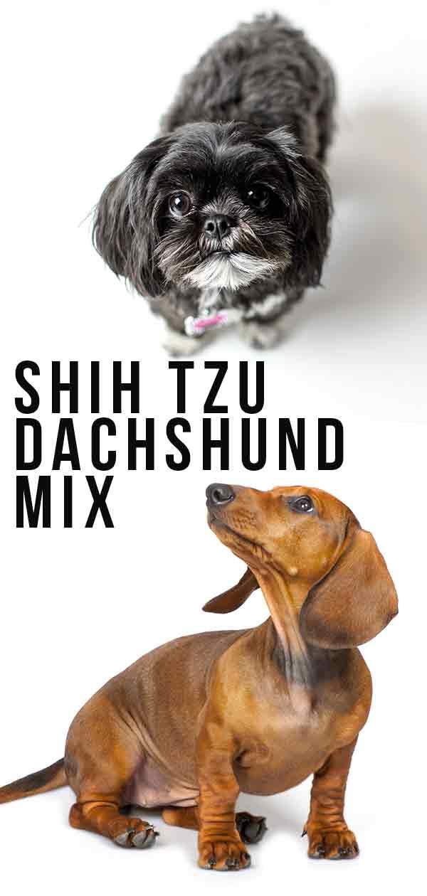 shih tzu dachshund mix