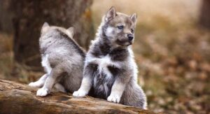 wolf names