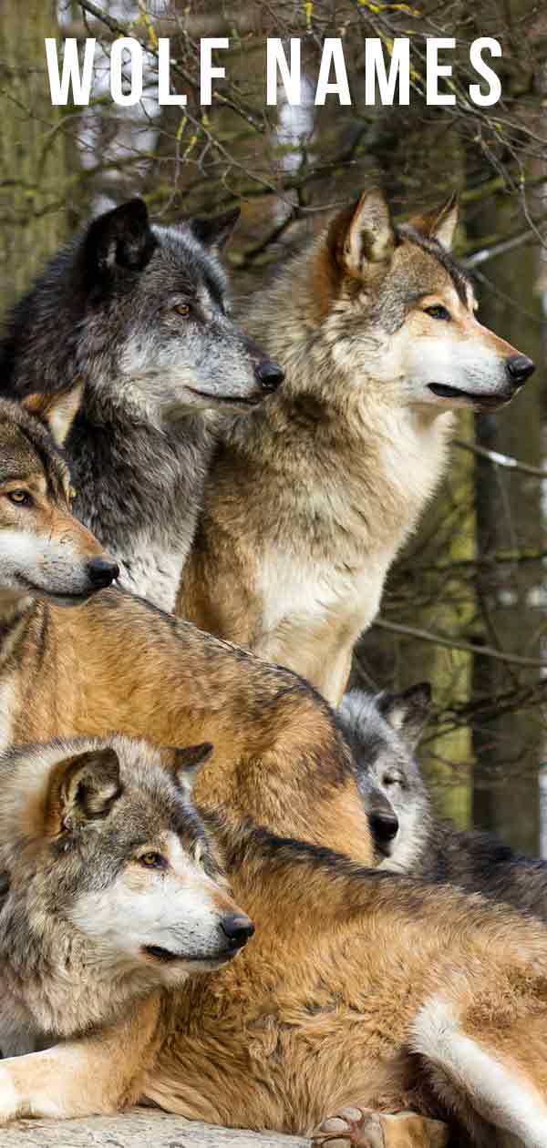 Wolf Names - Over 200 Ideas For Your Wild Looking Dog