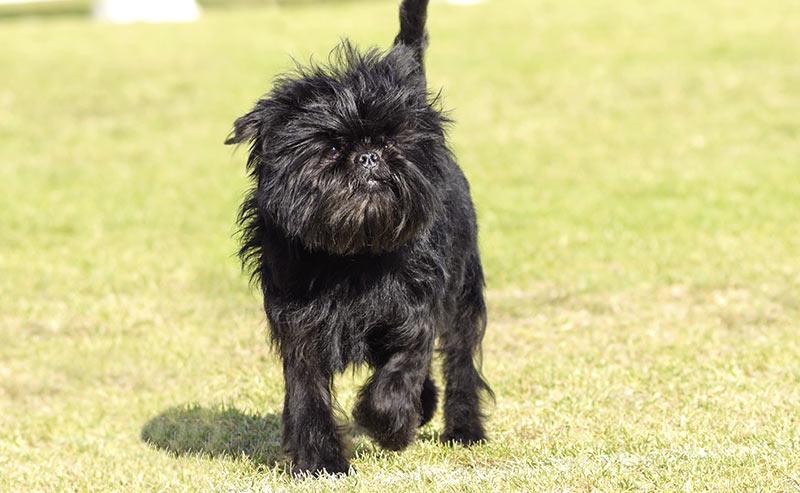 affenpinscher - dog breeds that start with a