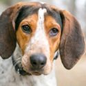 American English Coonhound – Is This Dog Right For Your Family?