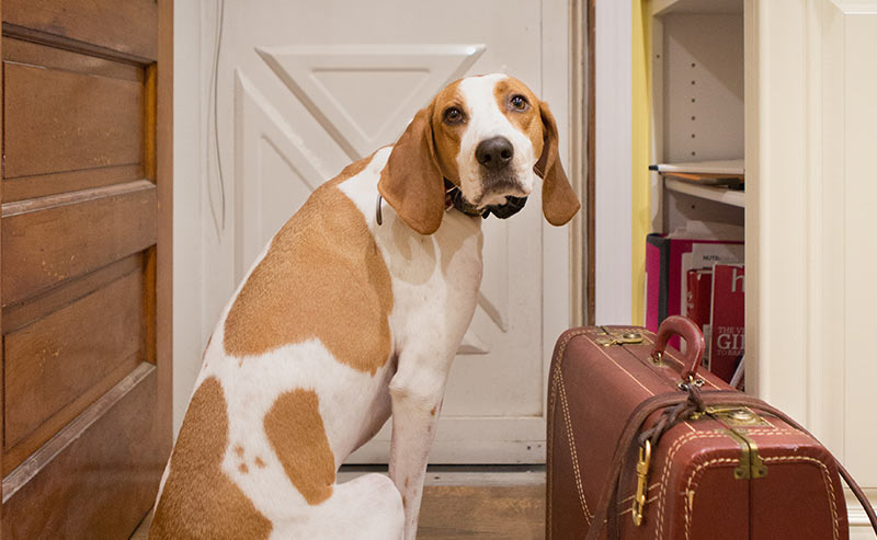 american english coonhound - dog breeds that start with a