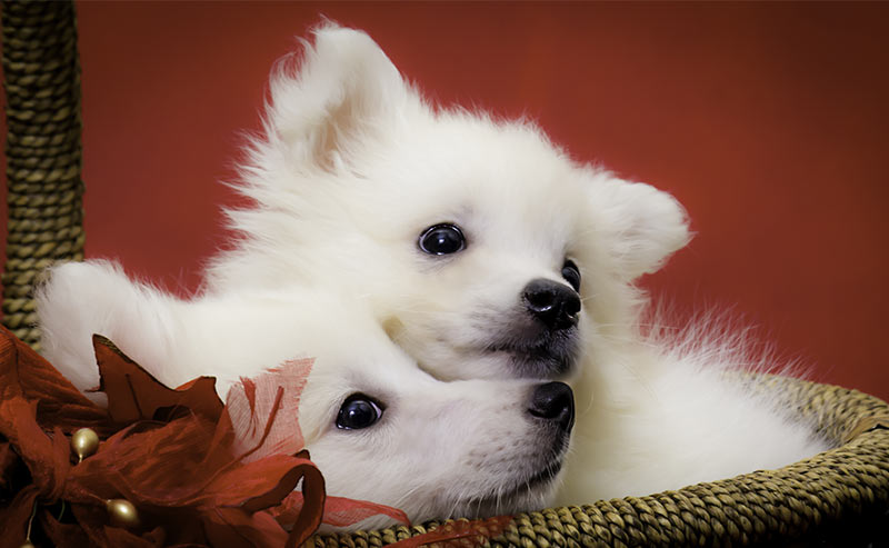 american eskimo dog - dog breeds that start with a