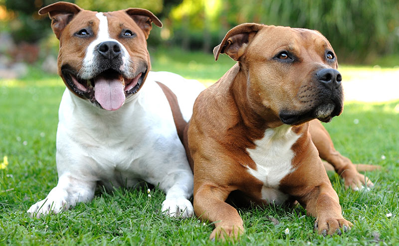 american staffordshire terrier - dog breeds that start with a