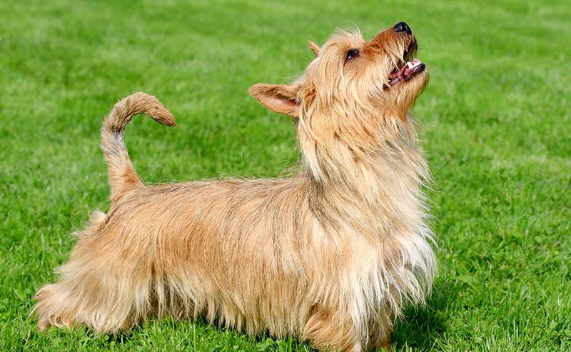 austalian terrier - dog breeds that start with a