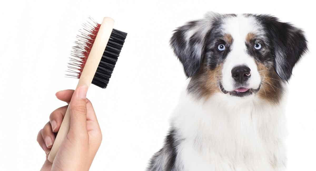 Australian Shepherd Grooming How To Care For Your New Pup
