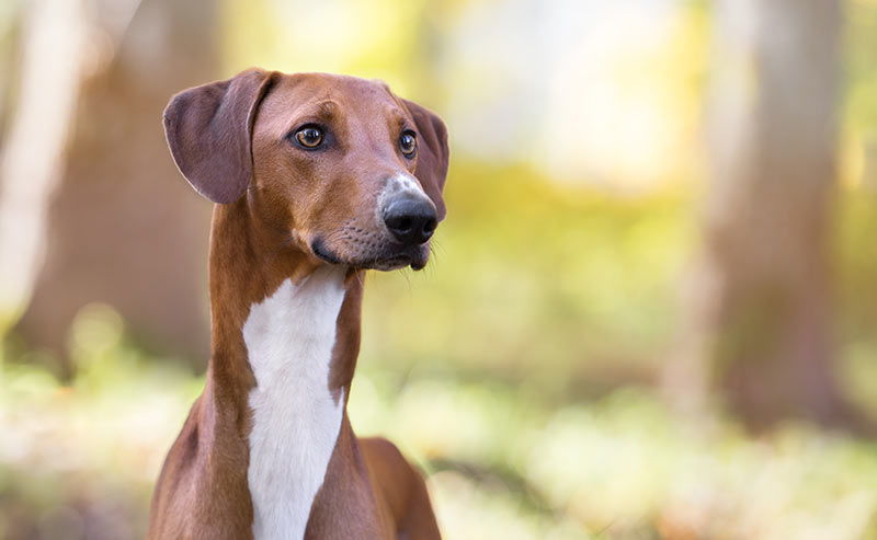 azawakh - dog breeds that start with a