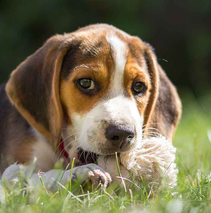 Beagle Puppies For Sale In Northern Ireland UK