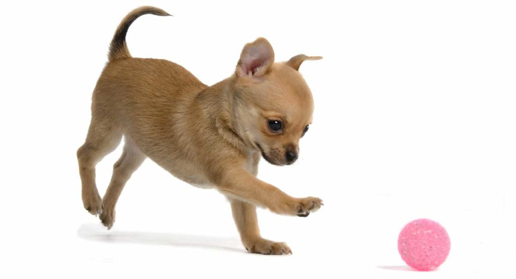 best toys for chihuahuas