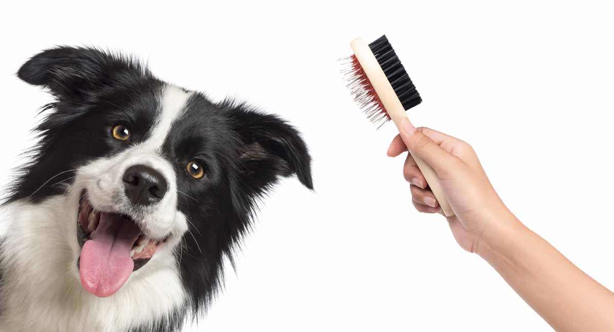 border collie grooming
