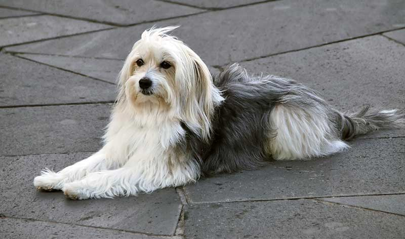 spanish dog breeds - catalan sheepdog