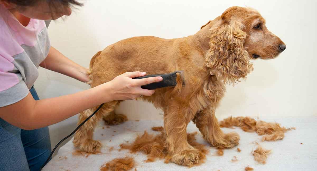 cocker spaniel grooming