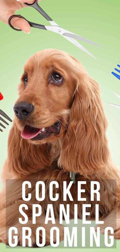 cocker spaniel grooming