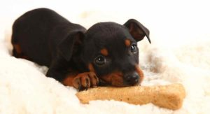 200+ Names For Doberman Pinschers – Find The Perfect One For Your New Pup