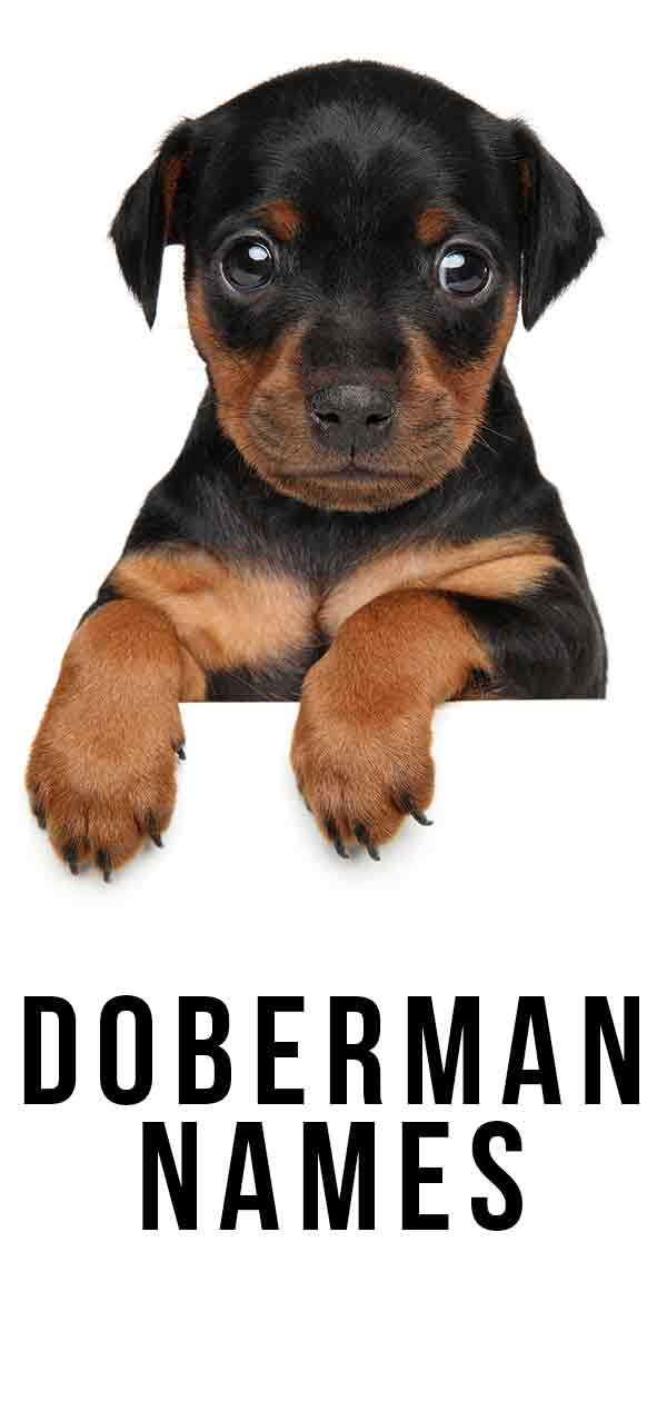 Doberman Names - 100's of awesome ideas for the perfect puppy name