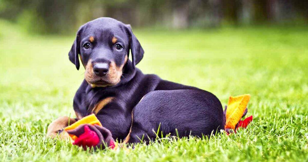 doberman pinscher puppy on grass