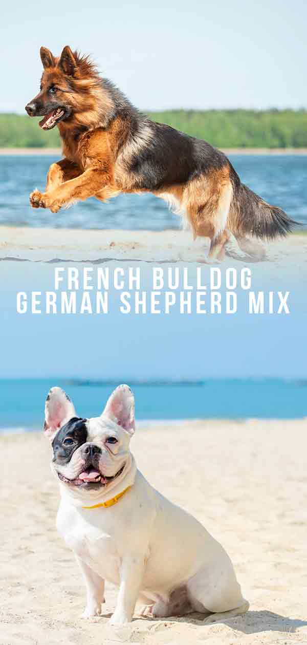 french bulldog german shepherd mix