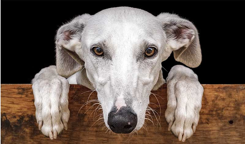 spanish dog breeds - galgo