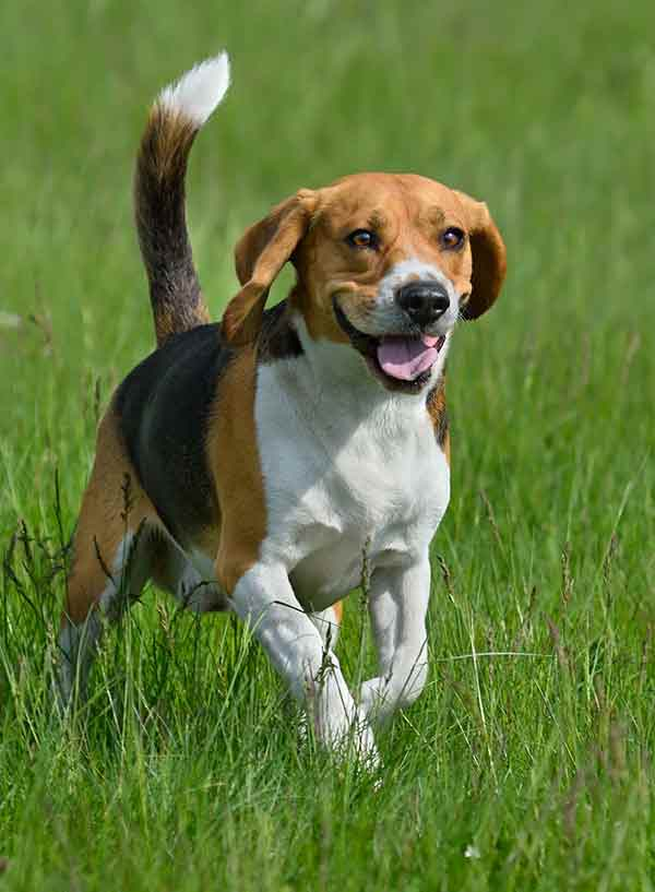 happy beagle dog running