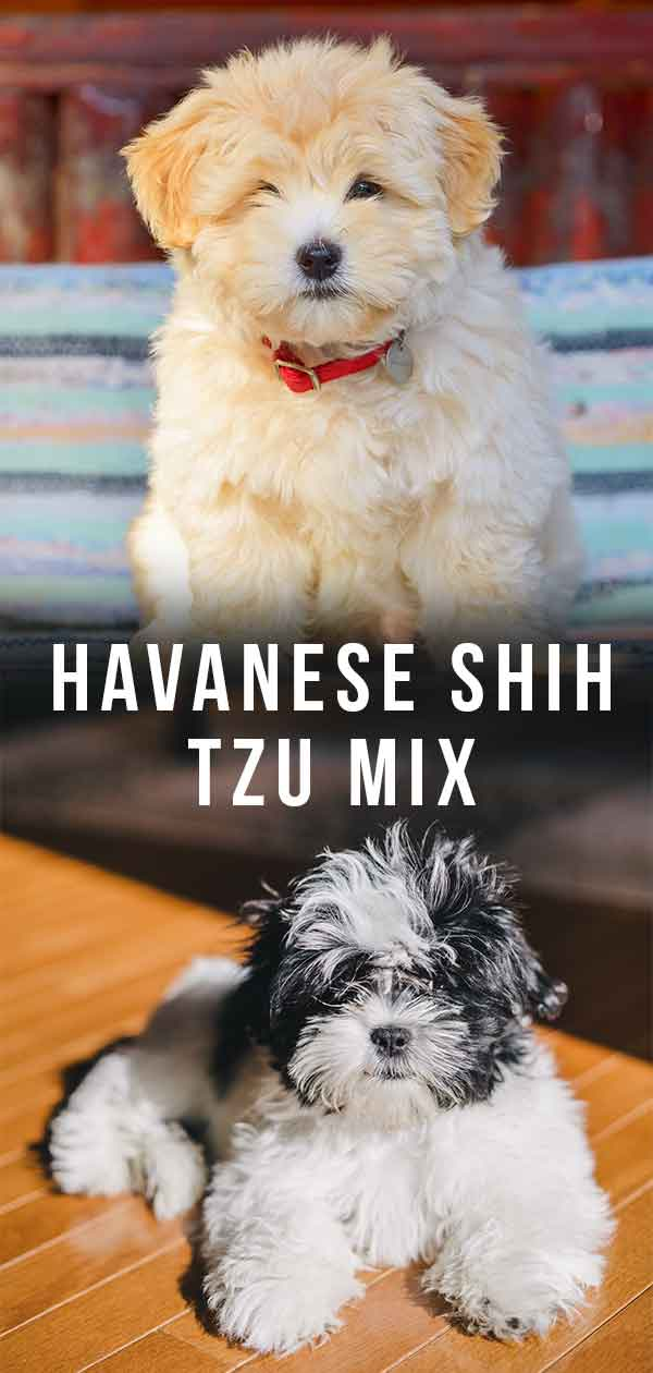 Havanese Shih Tzu Mix: Is the Havashu Right for You?