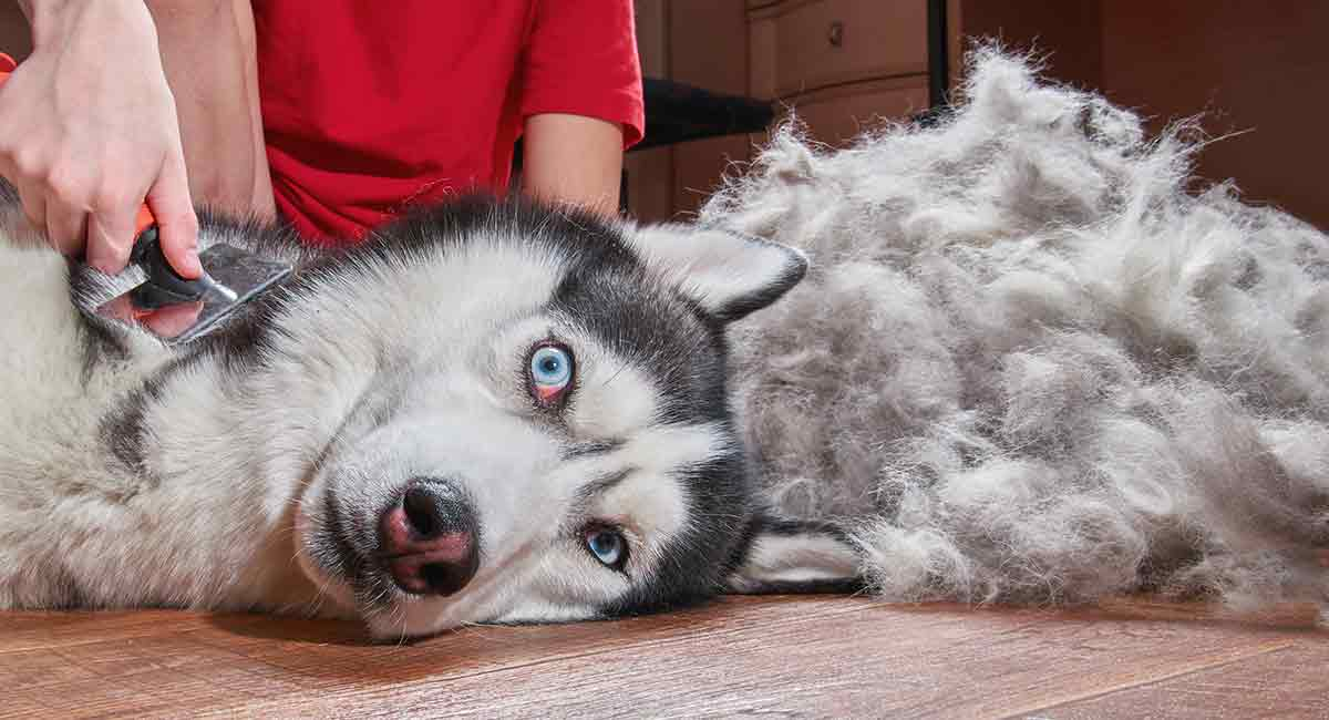 Husky Grooming Top Tips For Looking