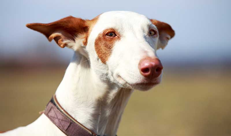 spanish dog breeds - ibizan hound