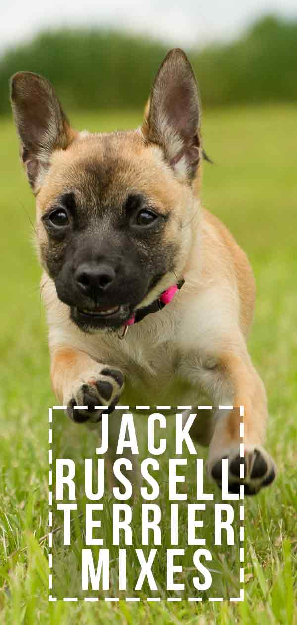 jack russell terrier mixes