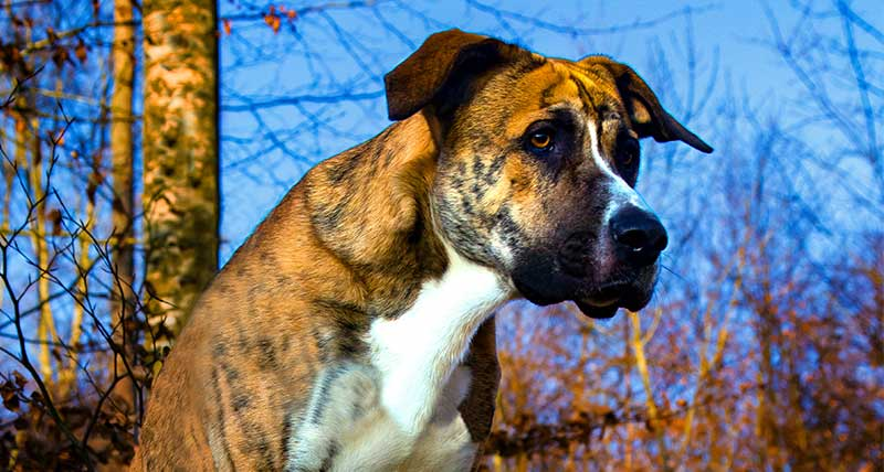 mastiff boxer mix - boxer dog mixes