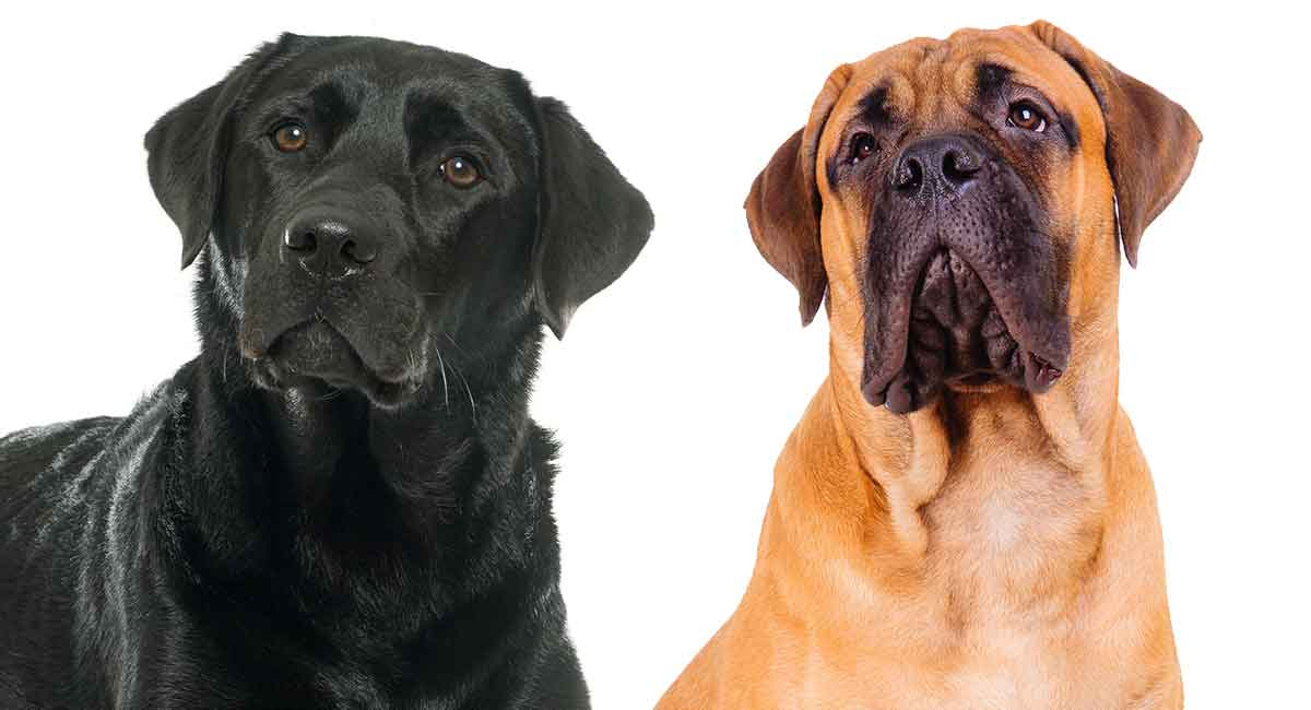 Mastiff Lab Mix Is This Prominent Hybrid Right For Your Home
