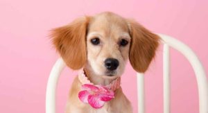 Miniature Cocker Spaniel – Is This Dog Right For You?