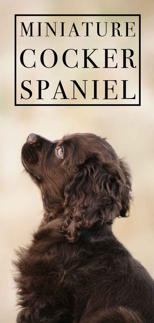miniature cocker spaniel