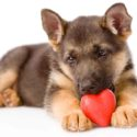 Miniature German Shepherd – Your Favorite Dog In A Tiny Package!