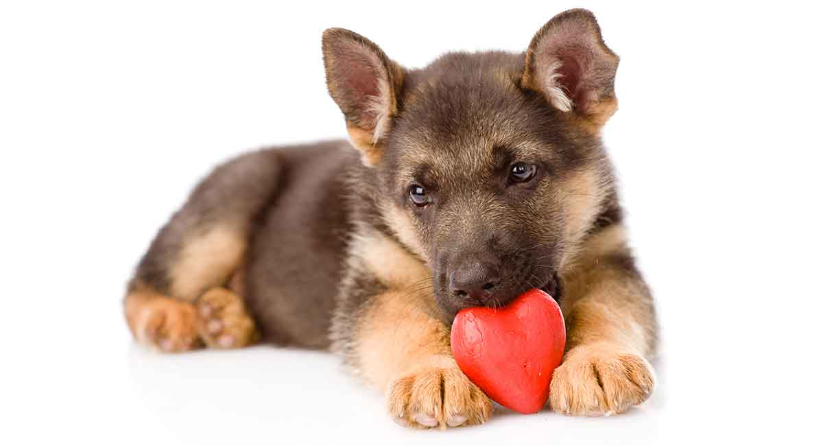 Miniature German Shepherd A Mini Version Of This Popular Breed