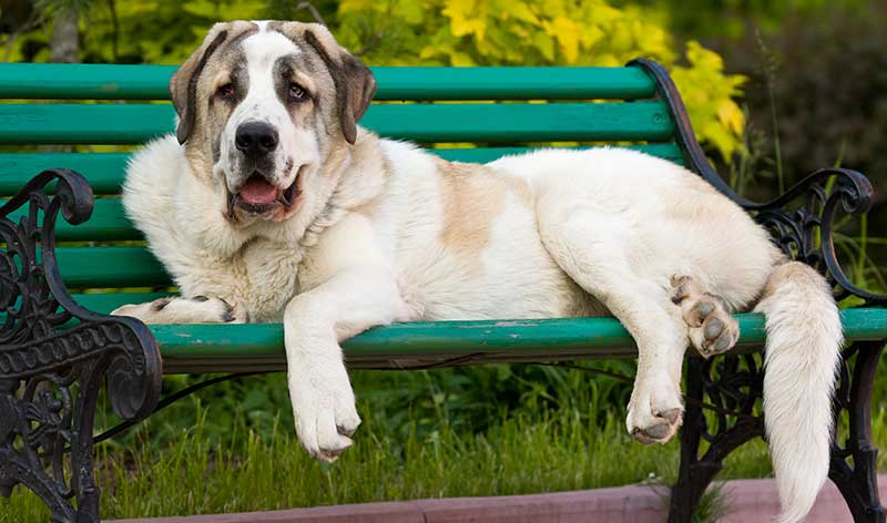 spanish mastiff - spanish dog breeds