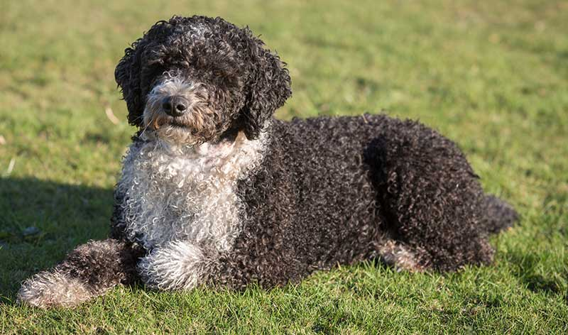 spanish water dog - spanish dog breeds