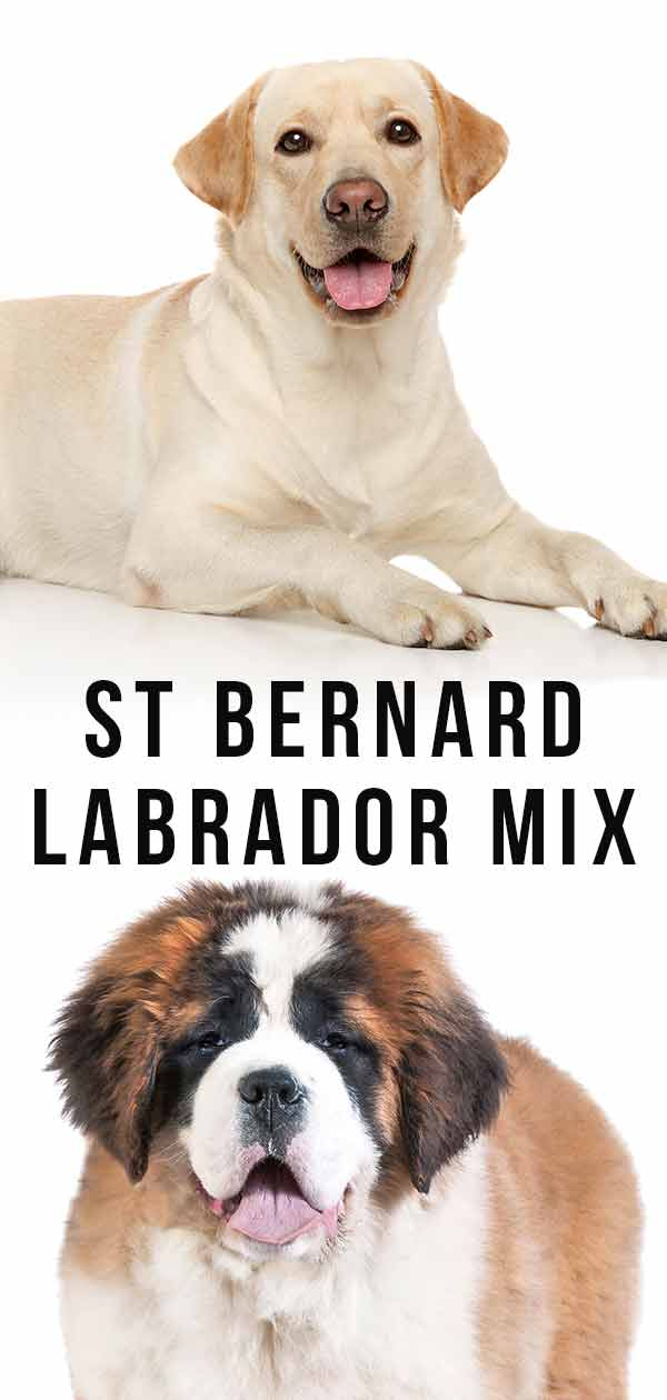 St. Bernard Lab Mix