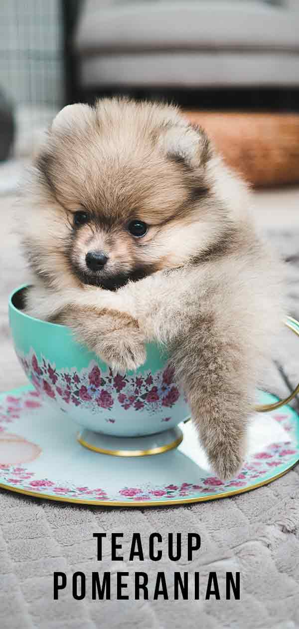 Teacup Pomeranian Is This Tiny Puppy Your Perfect Pet