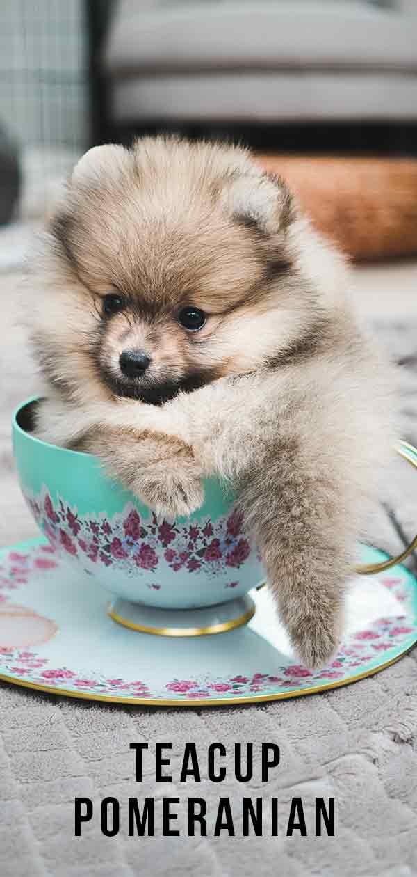 tea cup pomeranian