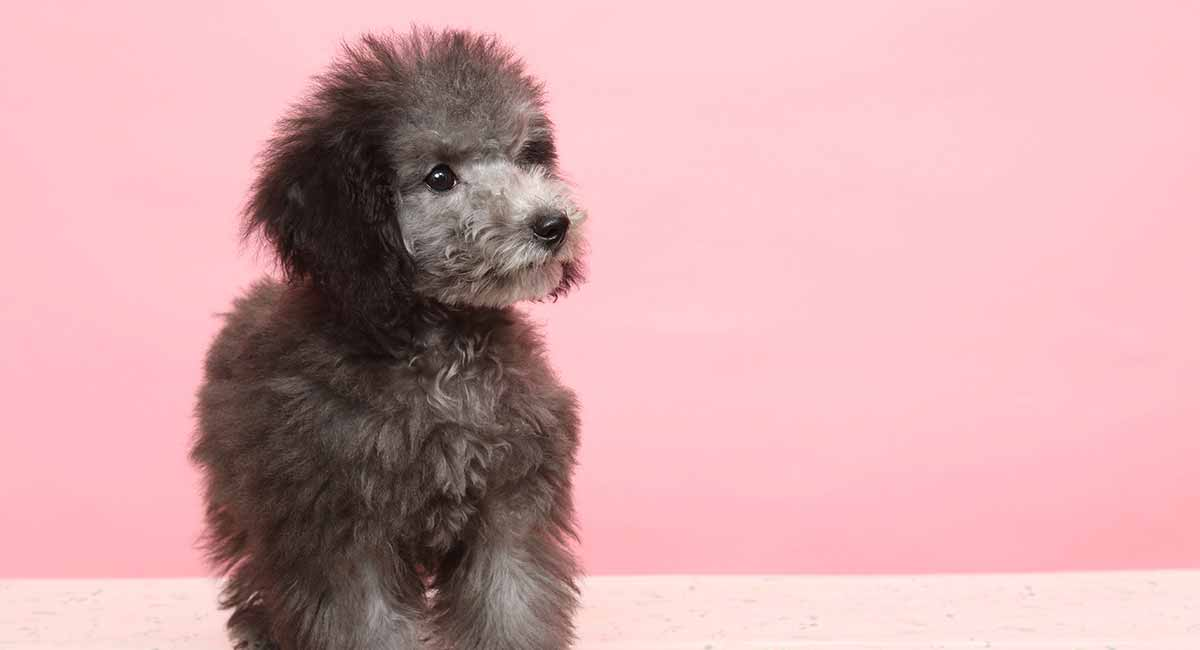 Teacup Poodle Would This Tiny