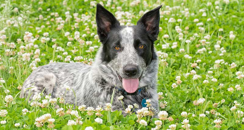 Blue Heeler Mi Which Of These