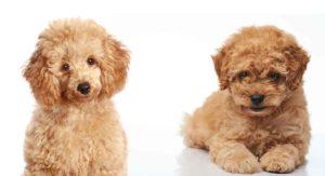 toy poodle vs miniature poodle
