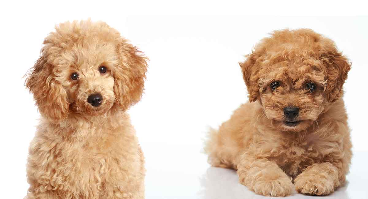 Toy Poodle Vs Miniature Poodle Whats The Difference