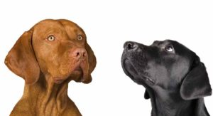 Vizsla Lab Mix – Would The Vizslador Be Right For Your Family?