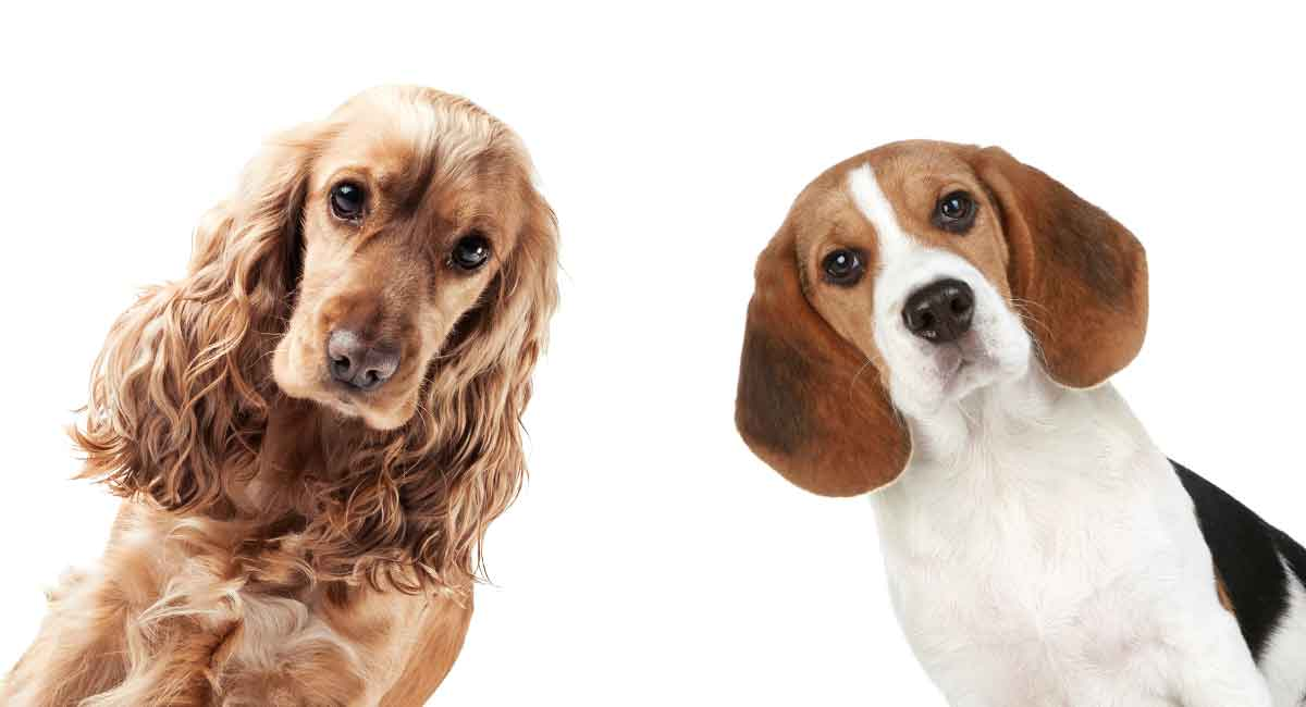 Beagle Cocker Spaniel Mix Would This Newer Hybrid Suit Your Family