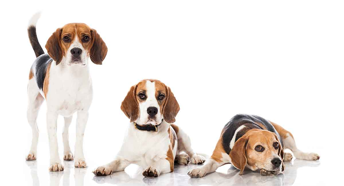 Beagle Colors Did You Know All The Different Colorations Of This Breed