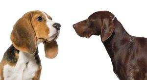 Beagle Pointer Mix