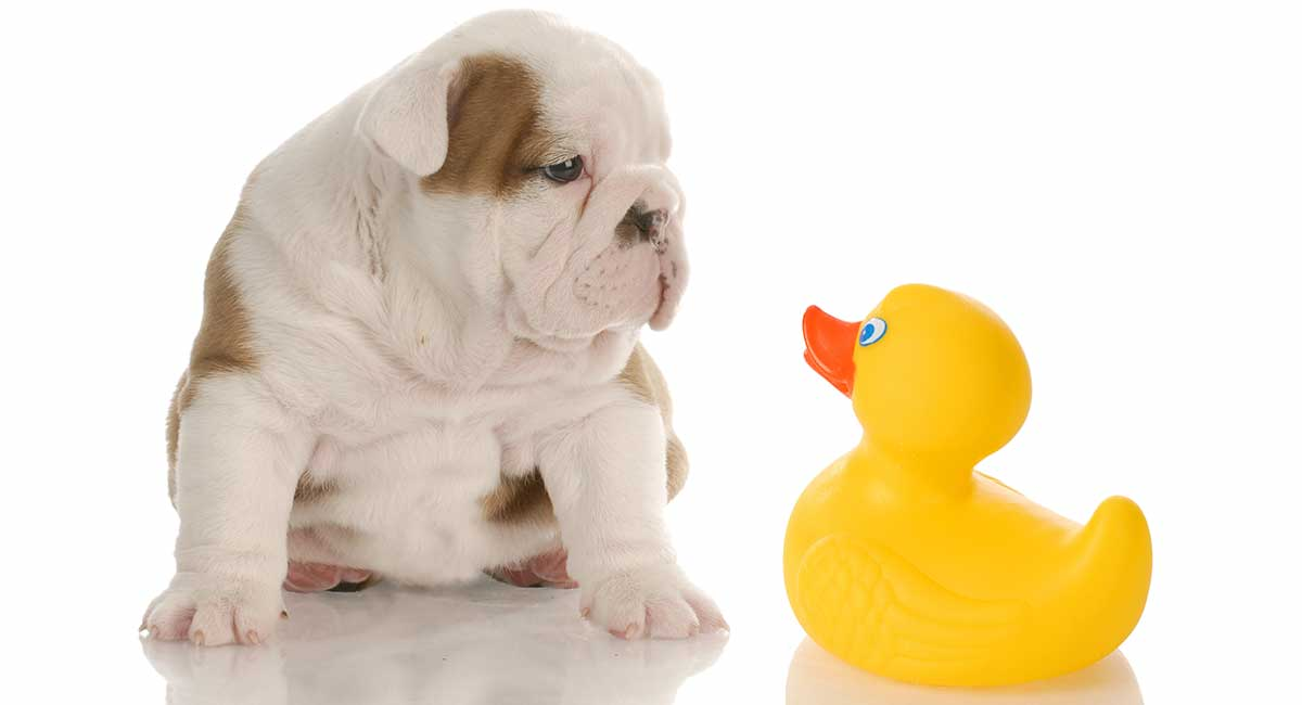 Best Shampoo For Bulldogs The Best Products For Washing Your Bulldog
