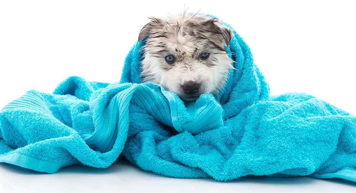best shampoo for huskies