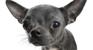 Black Chihuahua: Find Out More About This Popular Color