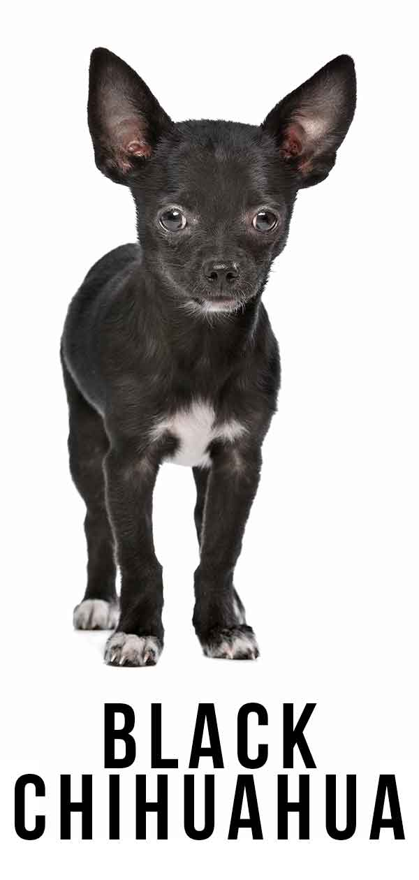 Black Chihuahua Find Out More About This Popular Coat Color